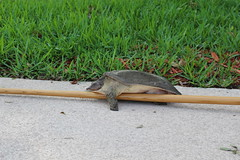 Why did the turtle stop on the rake?