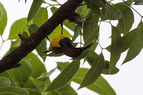Olive-backed Sunbird / Cinnyris jugularis