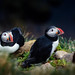 puffin by Donfer Lu