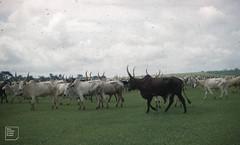 Fulani cattle (zebu x local) Ibadan