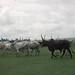 Small photo of Fulani cattle (zebu x local) Ibadan