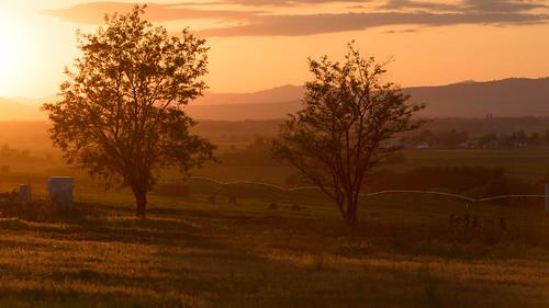 sunset locust tree golden agriculture kittitas ellensburg