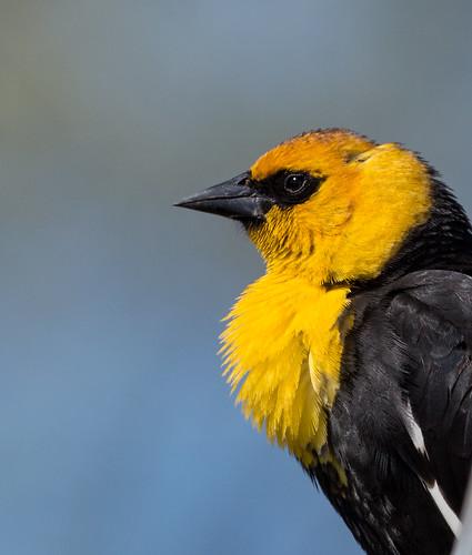 yellowheadedblackbird blackbird xanthocephalusxanthocephalus xanthocephalus icteridae icterid newworldblackbird nigelje robertlake kelowna
