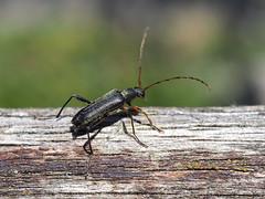 Longhorn Beetle - Grammoptera ruficornis