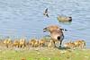 Canada Goose Family 17-0521-3562 by digitalmarbles