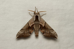 Smerinthus opthalmica (One-eyed Sphinx Moth) - Hodges # 7822.1 - Everett, WA