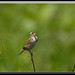 Henslow's Sparrow by Gregs eBirds