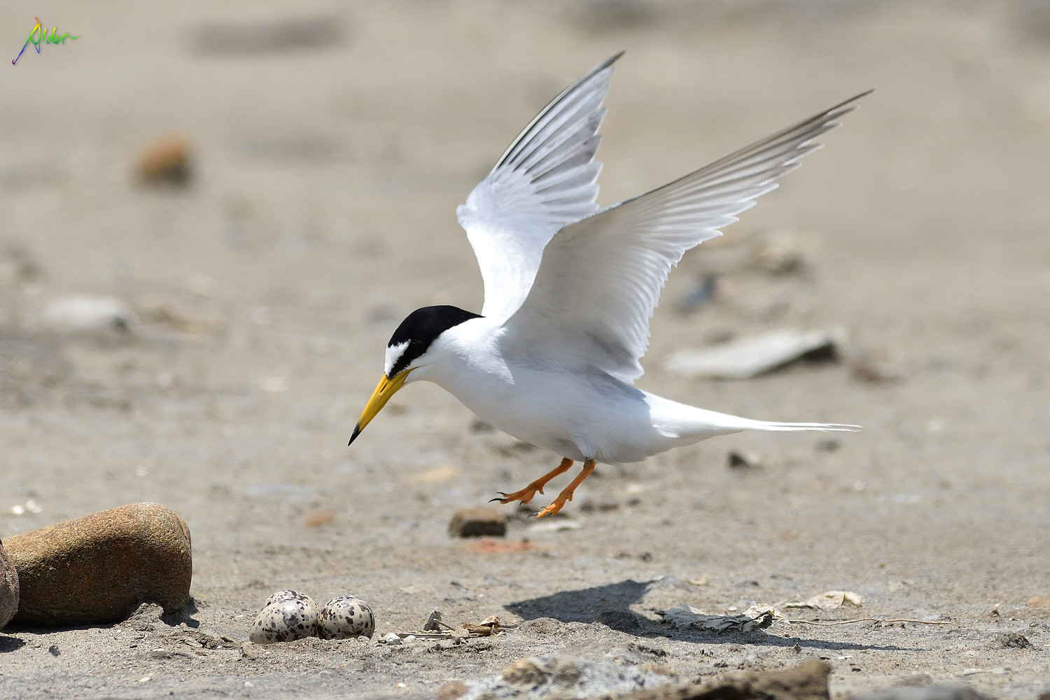 Little_Tern_2629