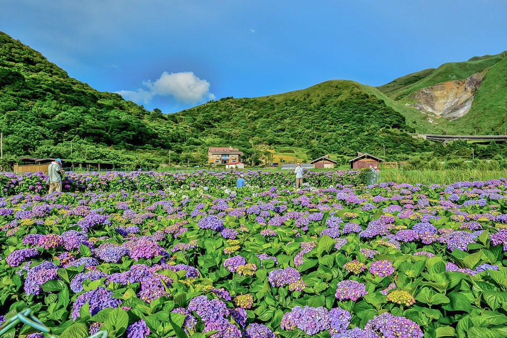 20170607竹子湖繡球花_170608_0006