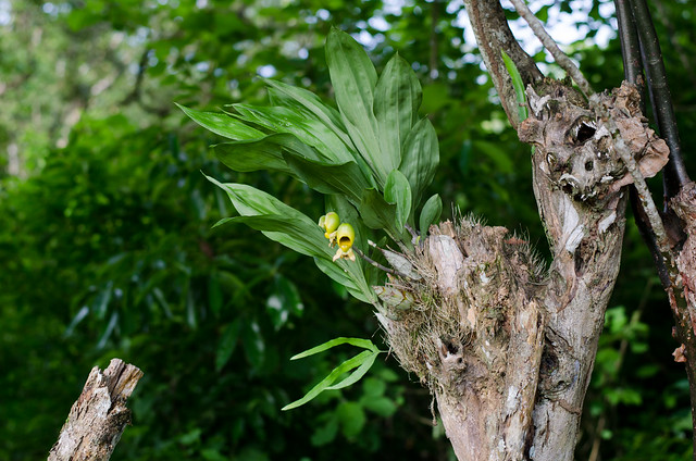 Catasetum sp, Nikon D5100, AF Nikkor 50mm f/1.8
