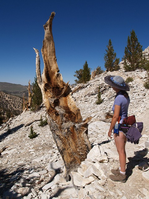 073 Cool-looking dead Bristlecone Pine stump at the Patriarch Grove