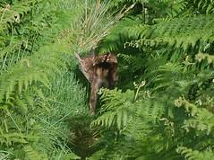 ireland-deer-DSC_0478