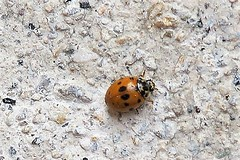 HolderLadybird at MV light Kettering, Northamptonshire. John W Ward.
