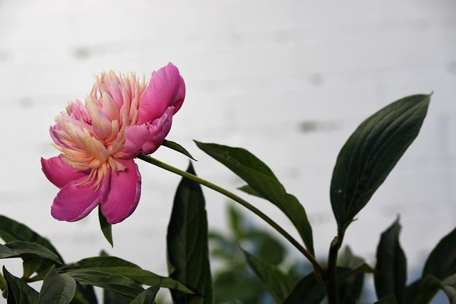 Peony, Canon EOS REBEL T5I, Canon EF-S 55-250mm f/4-5.6 IS II