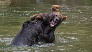 Young Bears Fighting