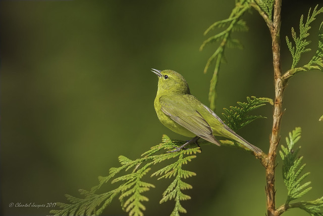 Pilgrimage to Tofino- Orange-crowned warbler singing