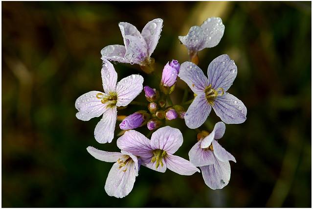 Cuckoo Flower.