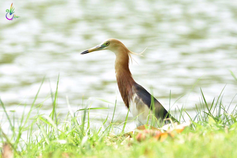 Javan_Pond_Heron_9724