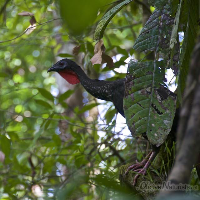 crested guan 0000 Corcovado, Osa peninsula, Costa Rica