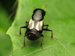 Ebony Rove Beetle with Mother of Pearl Inlays