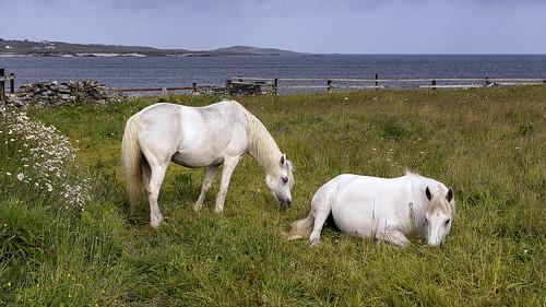 Ballyconneely Poneys, Derrygimia Beach, Ballyconneely