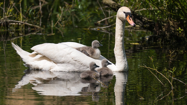 Swan family, Nikon D800, Sigma 150-600mm F5-6.3 DG OS HSM | S