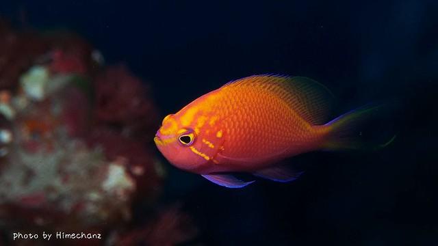 ハナゴンベ幼魚ちゃん♪
