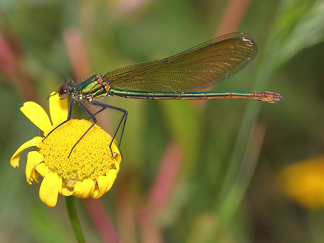 Calopteryx xanthostoma (Charpentier 1825)