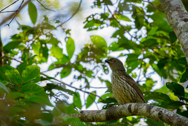 Tooth-billed Bowerbird, Canon EOS 7D, Canon EF 70-300mm f/4-5.6L IS USM