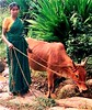 Village woman and cow
