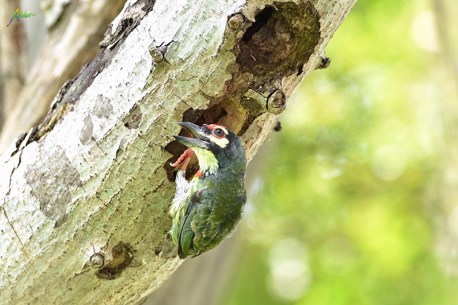 Coppersmith_Barbet_0561