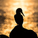 Blue Booby  silhouette during Sunset with view on the Ocean - Galapagos Isla Lobos