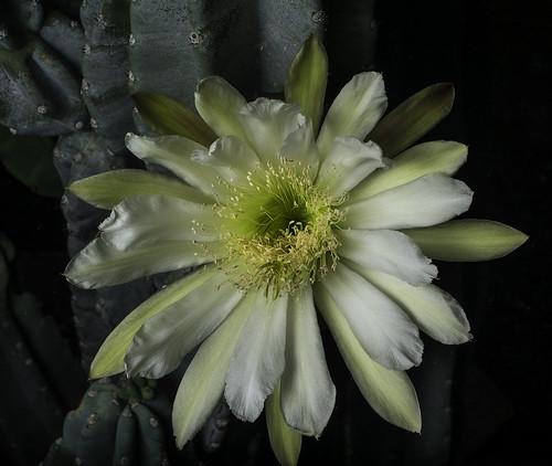 fleur flower flor cactus nightblooming offcameraflash griddedsoftbox yongnuorf603n yongnuo garden desertlandscaping lakeside