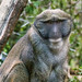 Small photo of Allen's Swamp Monkey