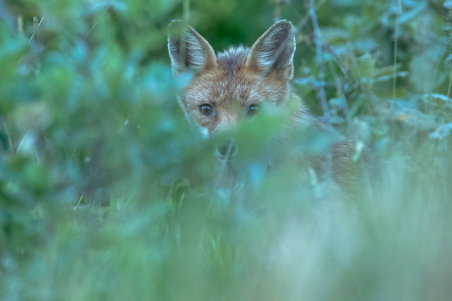 renard roux, Canon EOS-1D X MARK II, Canon EF 600mm f/4L IS + 1.4x