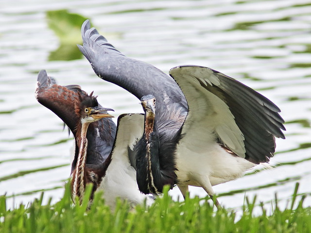 Tricolored Heron demands feeding 03-20170612