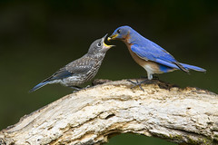 Eastern Bluebirds, juvenile and dad