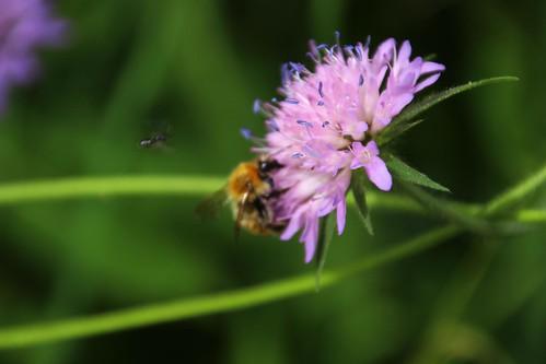Zigena de 6 puntos, avispa y abeja libando