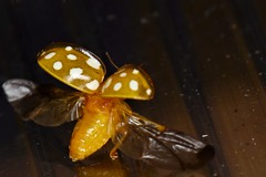 HolderOrange Ladybird