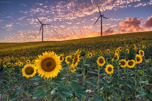 Twists of Fate || Giros del Destino (Girasoles || Sunflowers. Paterna de Rivera. Provincia de Cádiz. Andalucía)