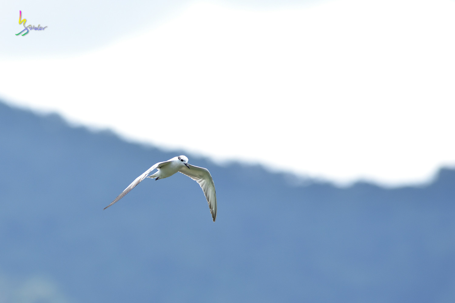 Whiskered_Tern_4995