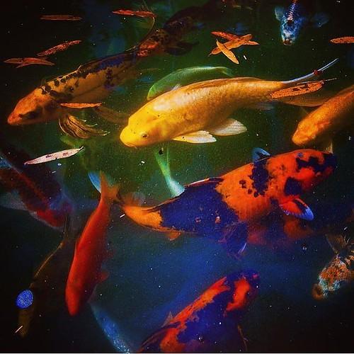 Kooi fish on a lazy summer day at @sarahpdukegardens. #pictureduke #dukegardens #dukephotoaday #kooi //PC: @megankmendenhall via @dukephotoaday