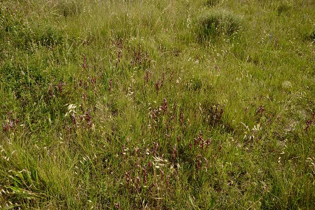 Serapias vomeracea - sérapias à labelle allongé 34540288360_fe364f4561_z