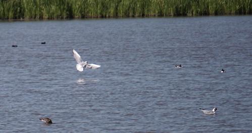 Kokmeeuw | Black-headed gull | Chroicocephalus ridibundus. Griedehoeke Natuurmonumentum fietstocht