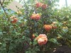 The roses are back