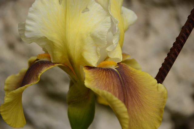 Iris 'Bayberry Candle' - Caroline DeForest 1966 34702584882_8aea1e680c_z