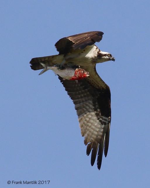 Osprey (Pandion haliaetus) with prey