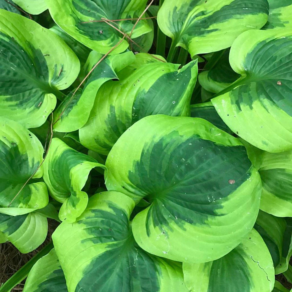 Hosta Dream Queen Features Two Of The Most Intense Green Flickr