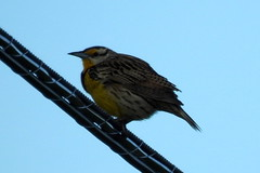 Eastern Meadowlark at BARC