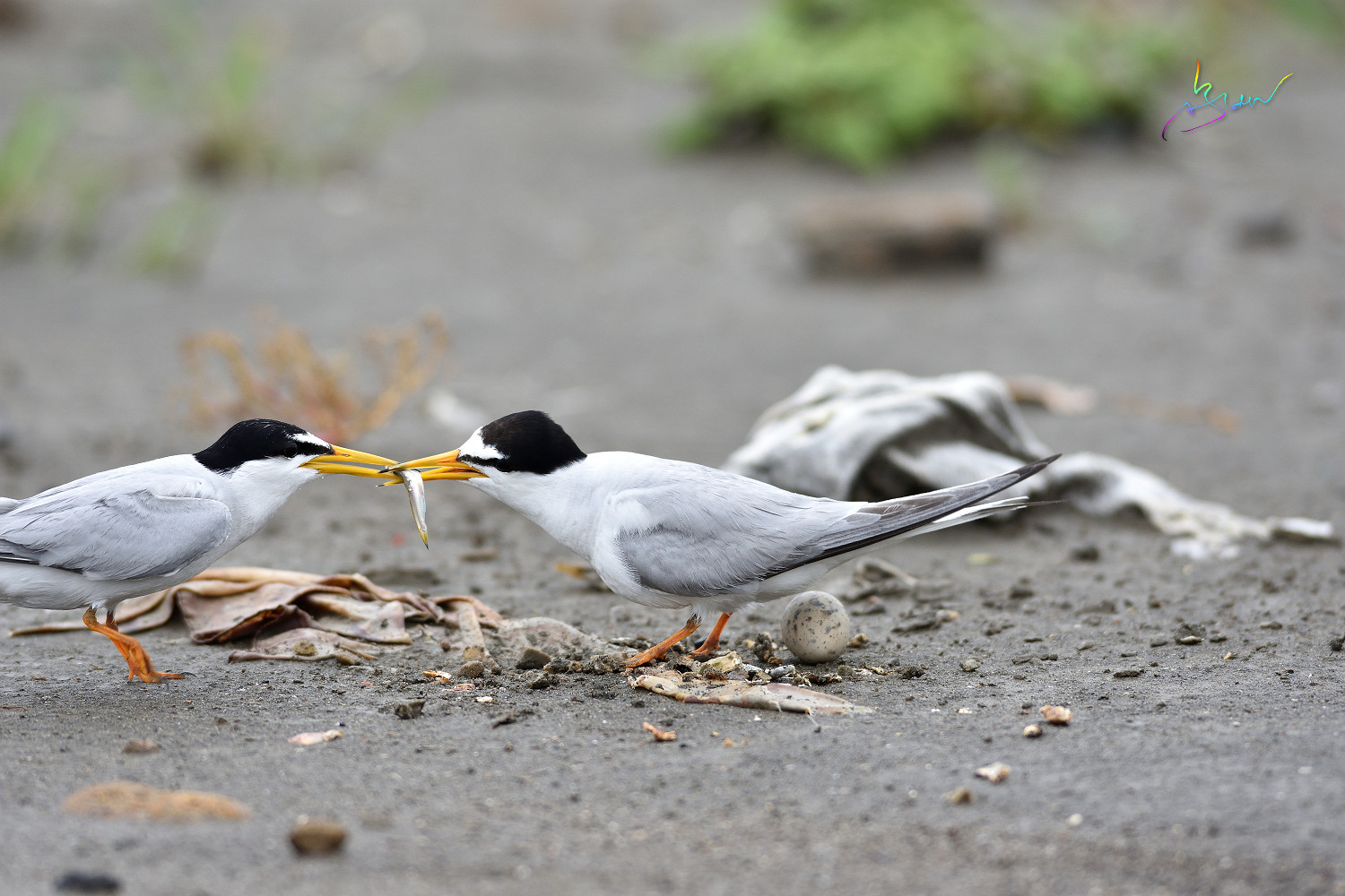 Little_Tern_4248